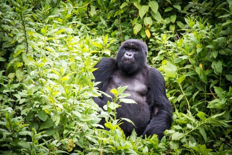 Susa Group Silverback Gorilla Rwanda