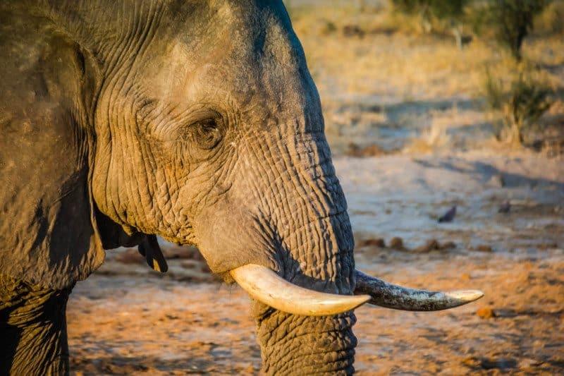 Bull Elephant Botswana Visit Africa