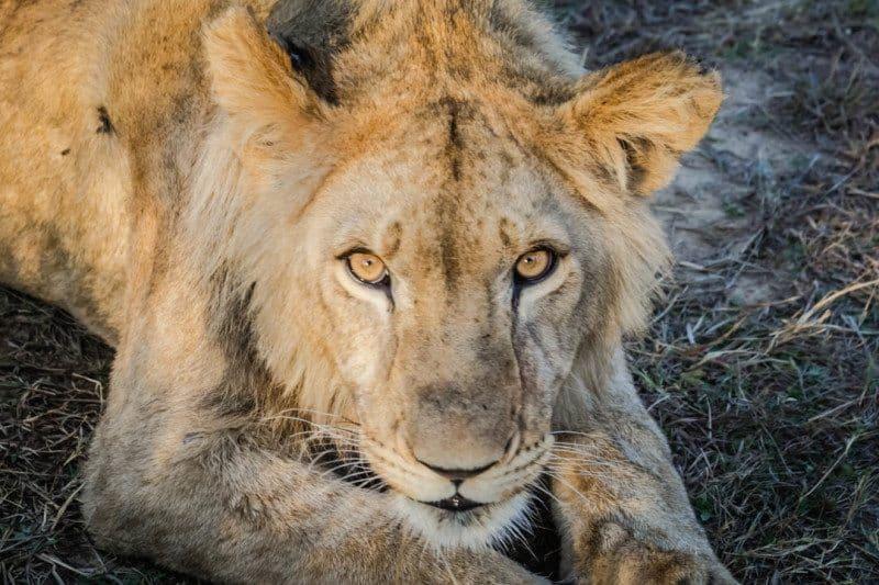 African Lion Zimbabwe ALERT