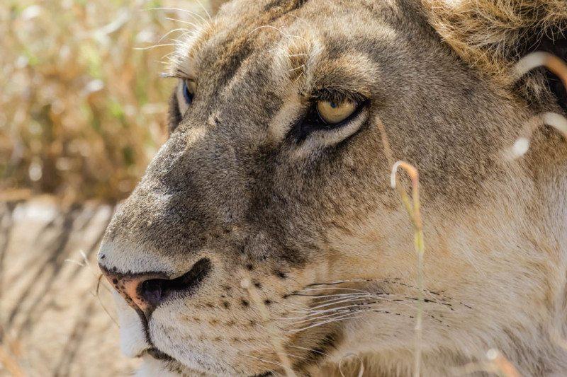 Lioness Serengeti Safari Tanzania