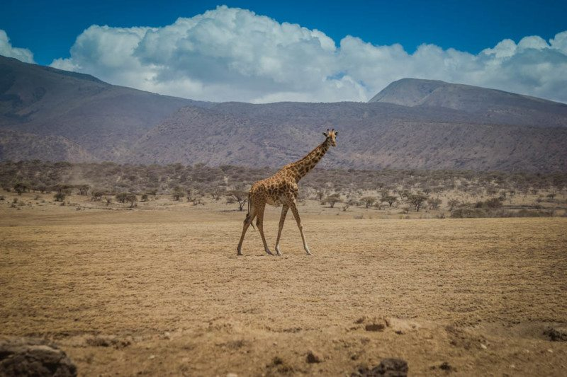 Giraffe Serengeti Safari Tanzania