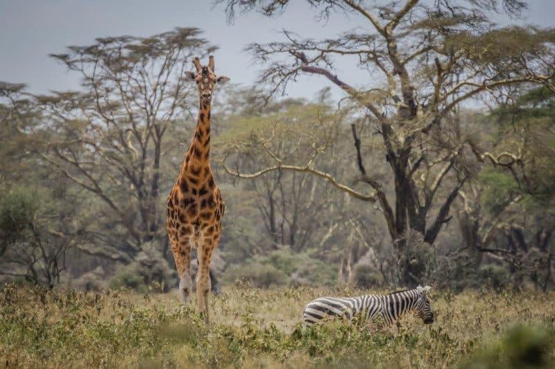 Giraffe and Zebra Lake Nukuru Kenya Visit Africa