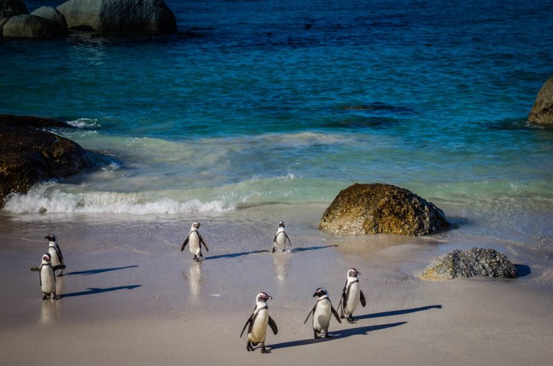 Jackass Penguines South Africa