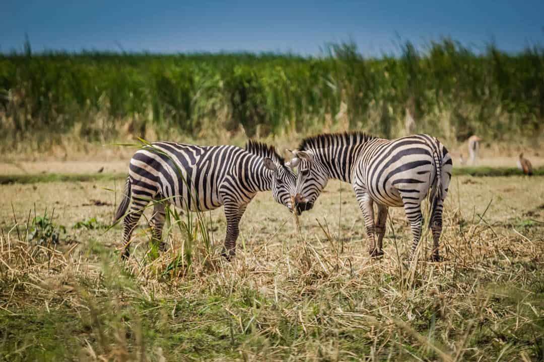 Visit Tanzania - Zebras - Lina Stock