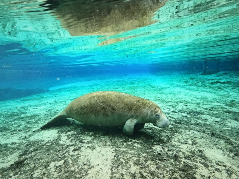 How & Where to Swim with Manatees in Florida