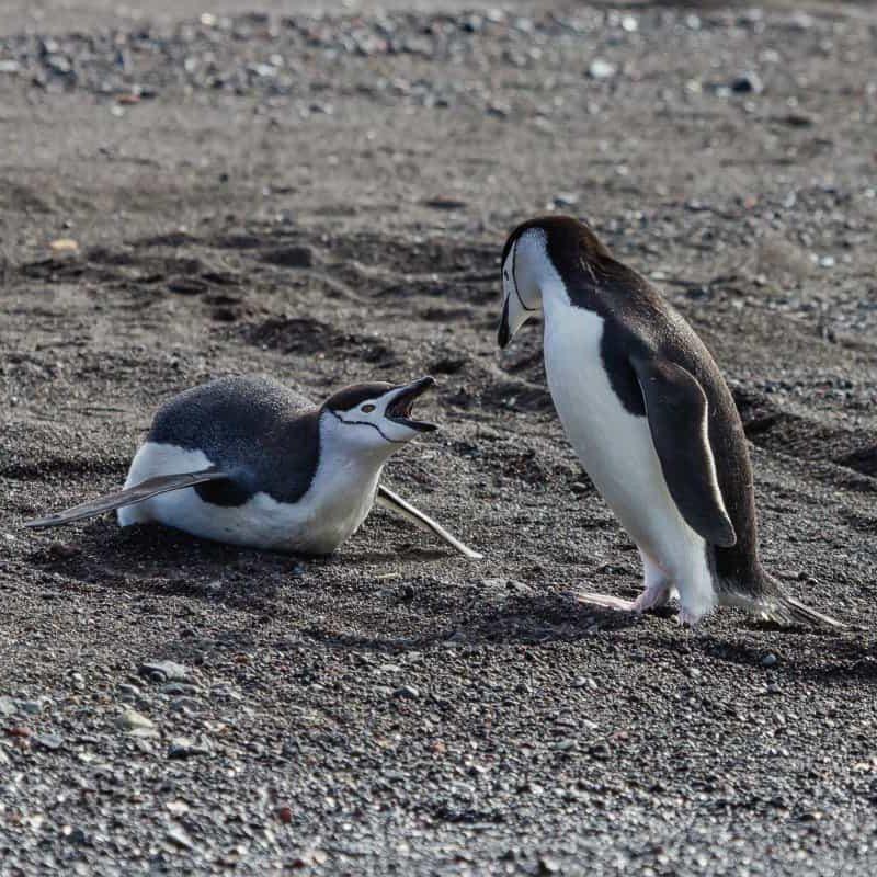 Chinstrap Penguins - Antarctica - Lina Stock