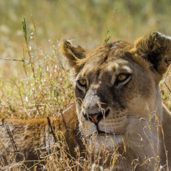 Serengeti safari -Lion